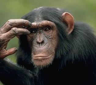 думающий примат