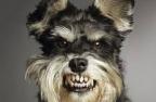 агрессивный пёс