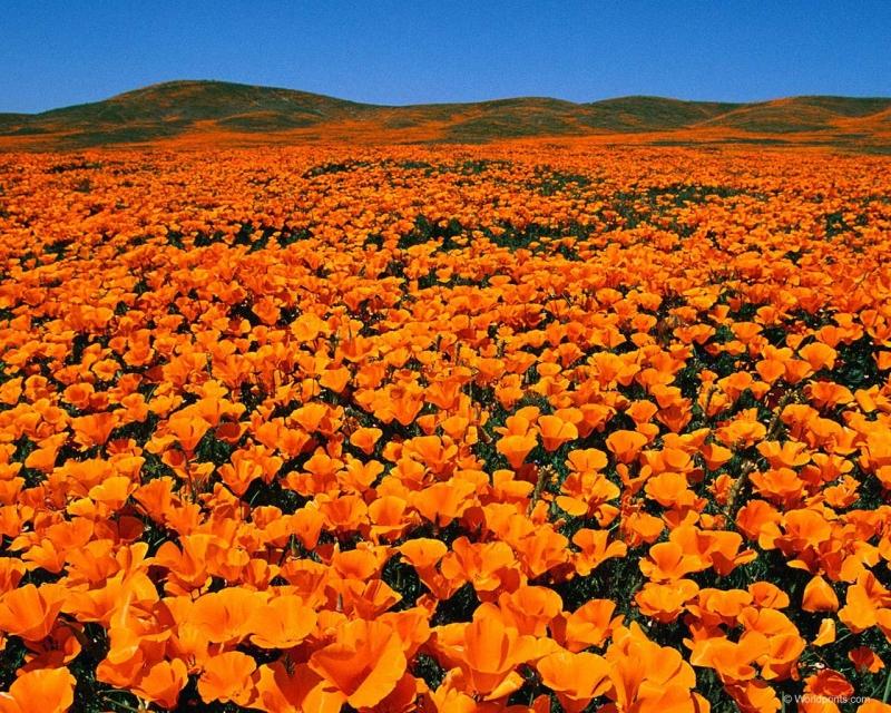поле оранжевых цветов